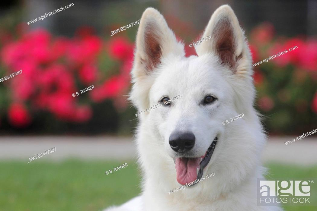 Stock Photo: Berger Blanc Suisse (Canis lupus f. familiaris), one year old she dog, portrait, Germany.