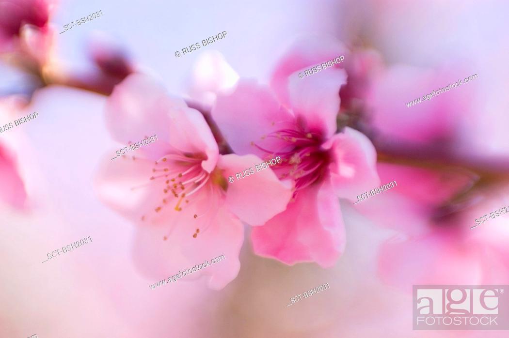Stock Photo: Apple blossoms, Antelope Valley, California.