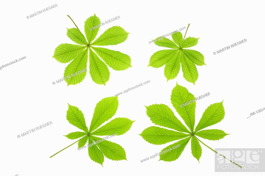 Stock Photo: Horse chestnut Aesculus hippocastanum leaves, white background  Studio Shot.