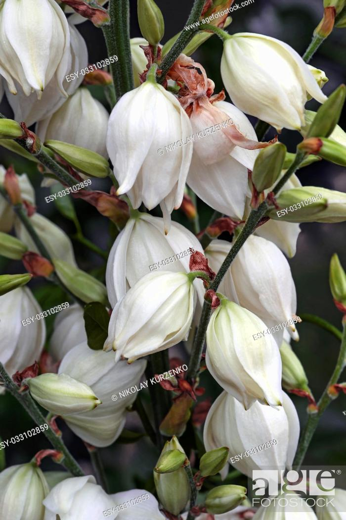 Stock Photo: Common yucca (Yucca filamentosa). Called Adam's needle, Spanish bayonet, Bear-grass, Needle-palm, Silk-grass and Spoon-leaf yucca also.