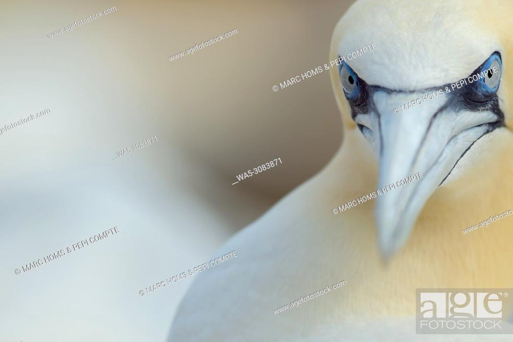Stock Photo: Northern Gannet portrait close-up in Saltee Island, Ireland.