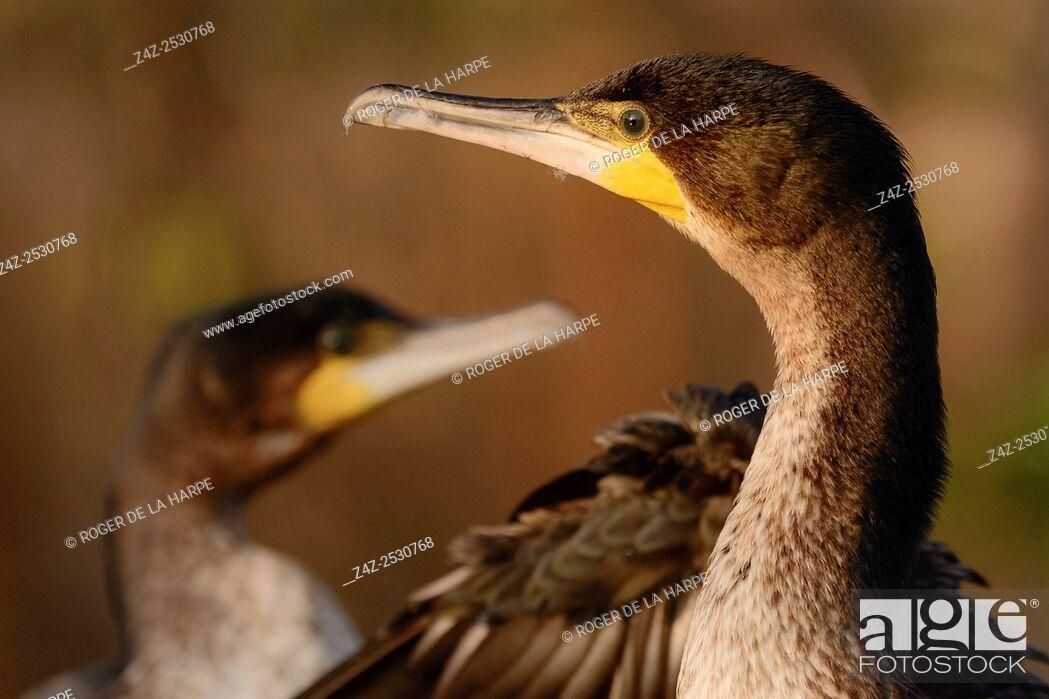 Imagen: Reed cormorant (Microcarbo africanus) portrait. Lake Naivasha. Naivasha. Great Rift Valley. Kenya.