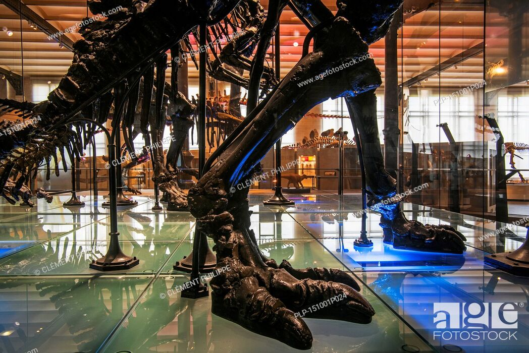Stock Photo: Mounted skeletons of Iguanadon dinosaurs at the Dinosaur hall in the Royal Belgian Institute of Natural Sciences / Museum of Natural Sciences.
