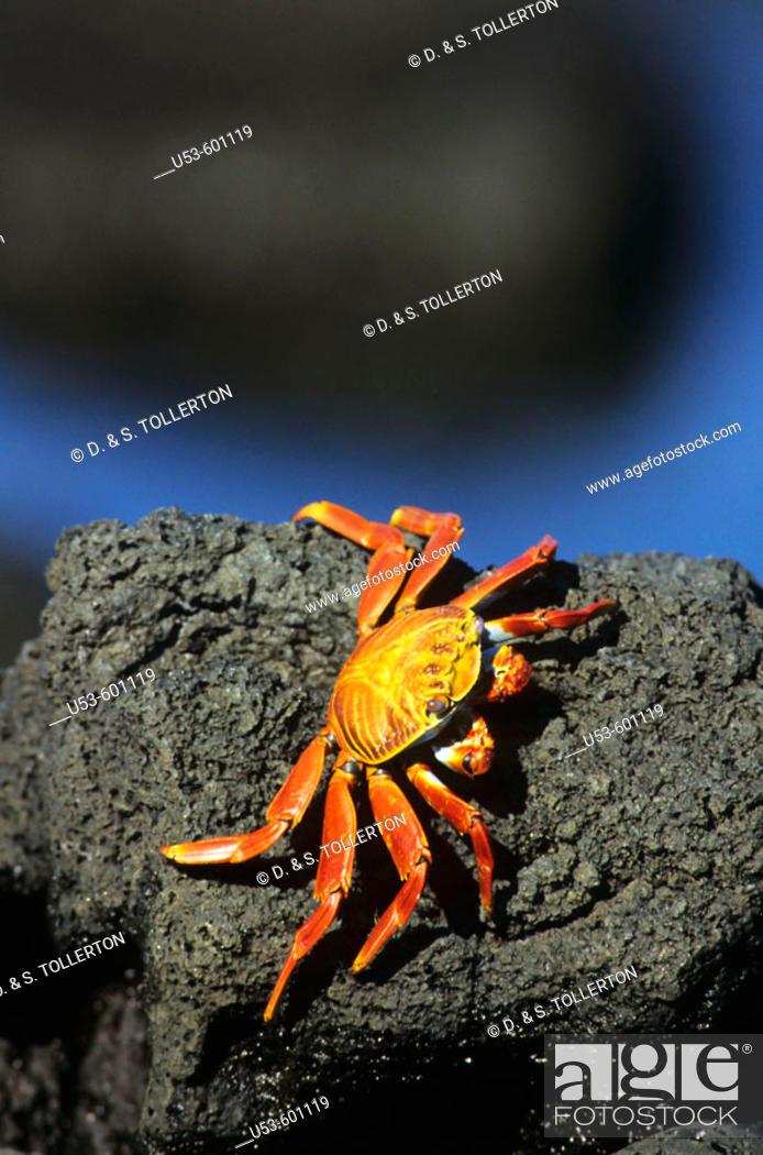 Stock Photo: Sally Lightfoot Crab, Grapsus grapsus.