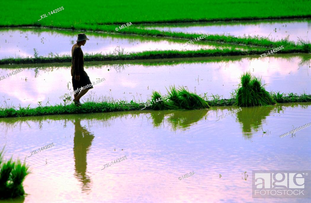 Stock Photo: Ricefield  Chiang Mai  Thailand.