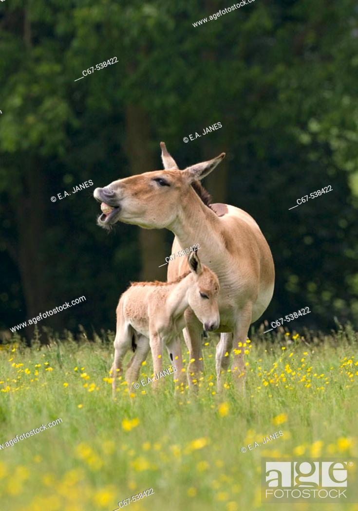 Stock Photo: Onager & Foal (Equus hemionus).