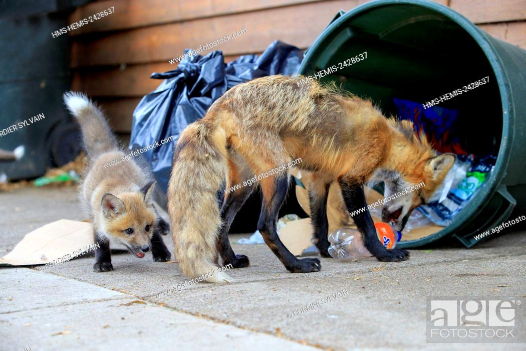 Stock Photo: United States, Minnesota, Red Fox (Vulpes vulpes), adult with young looking in a waste bin.