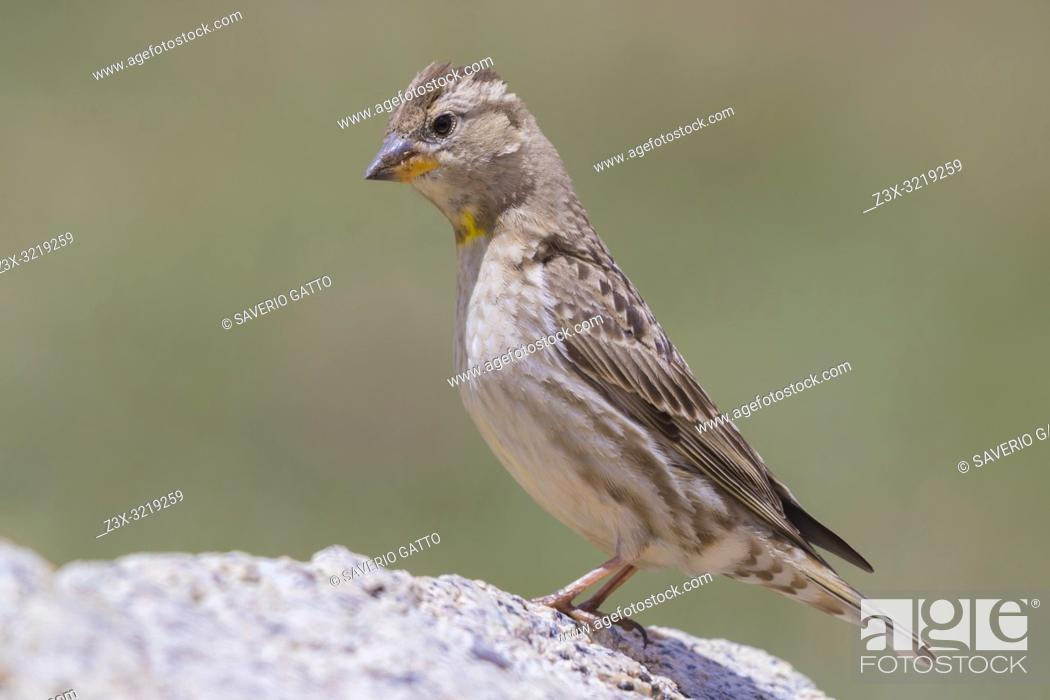 Stock Photo: Rock Sparrow (Petronia petronia barbara), side view of an adult standing on a stone.