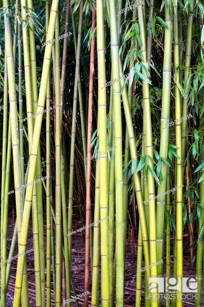 Stock Photo: Bamboo, reeds, Martutene, Donostia or San Sebastian, Gipuzkoa province, Basque Country, Spain.