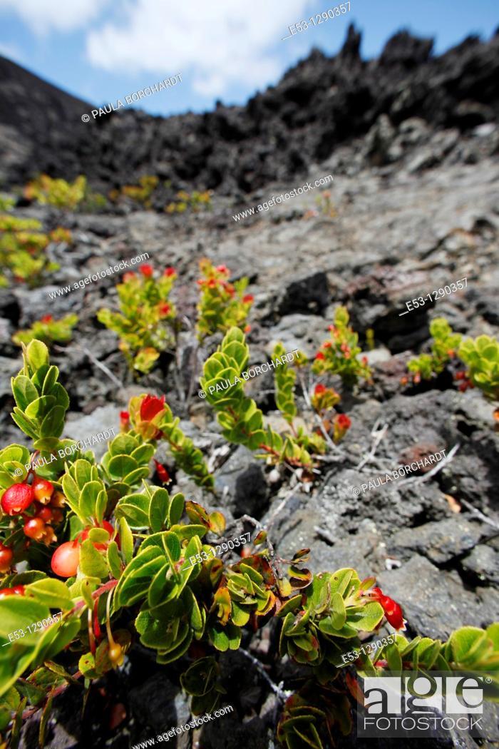 Stock Photo: Plants growing out of lava, Kilauea Crater, Kilauea Iki Trail, Hawaii Volcanoes National Park, Hawaii, USA.