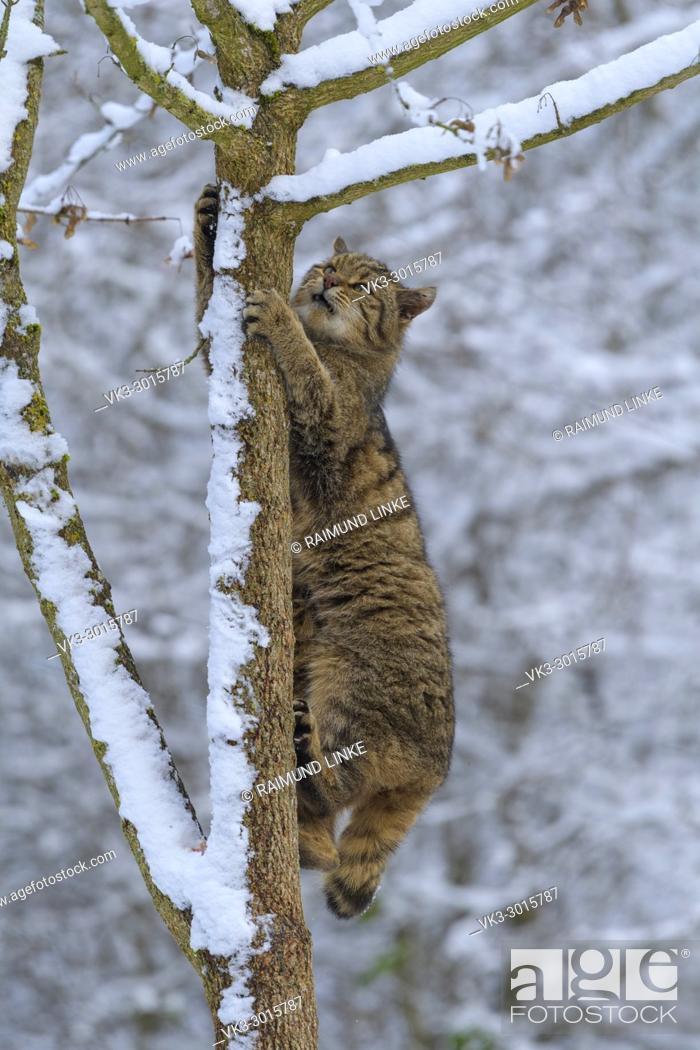 Stock Photo: Wildcat, Felis silvestris, climbing on tree in winter, Germany, Europe.