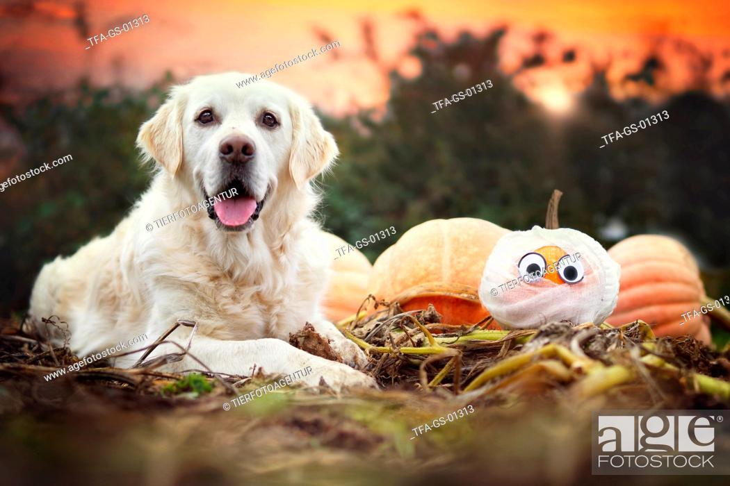 Stock Photo: Golden Retriever at halloween.