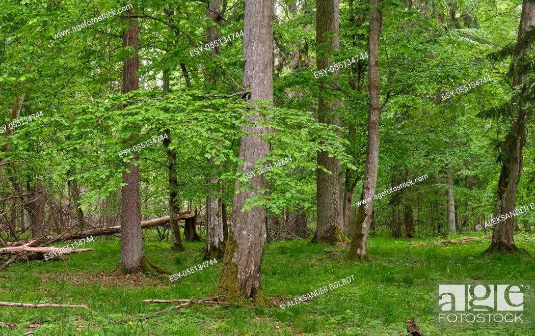 Stock Photo: Rich deciduous stand in spring with broken hornbeam tree in foreground, Bialowieza Forest, Poland, Europe.