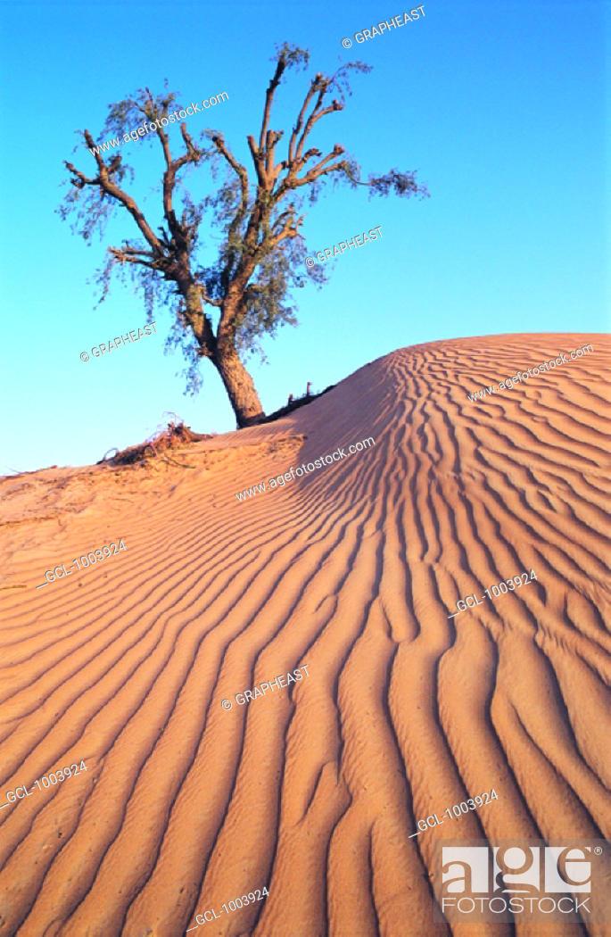 Stock Photo: Lonely tree in the desert near Al Ain, United Arab Emirates.