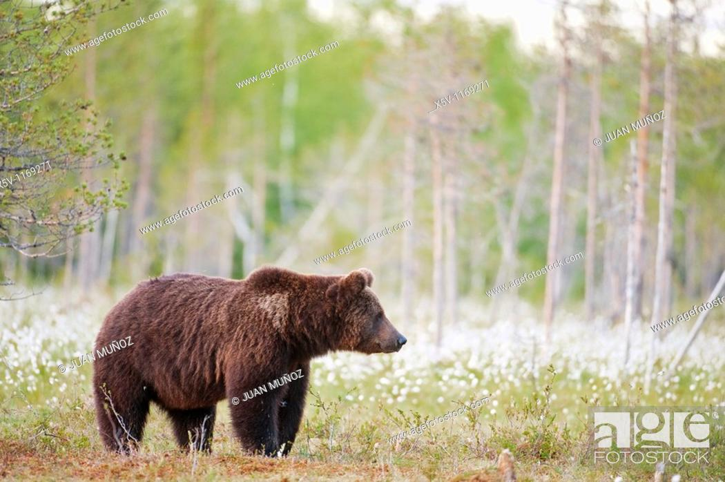 Stock Photo: European brown bear in the Scandinavian taiga. Kainuu Region. Finland. Europe.