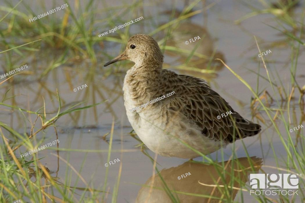 Stock Photo: Ruff, Lake Manyara, Tanzania, Africa, Philomachus pugnax,.
