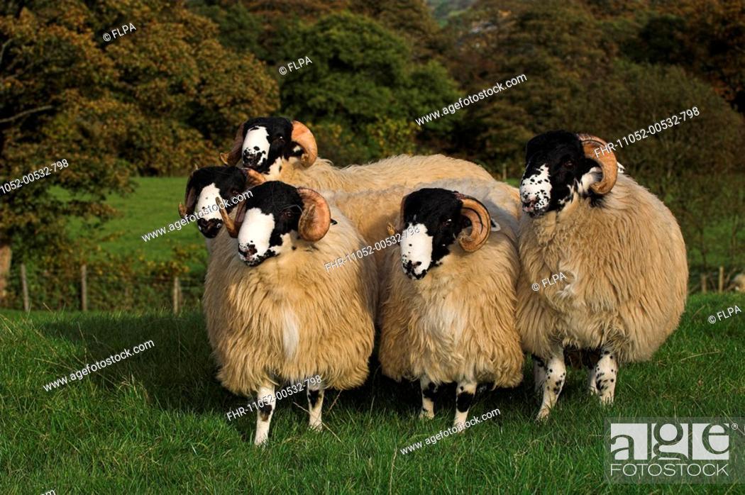 Stock Photo: Domestic Sheep, Rough Fell, five ram lambs, ready for autumn sales, Sedbergh, Cumbria, England.