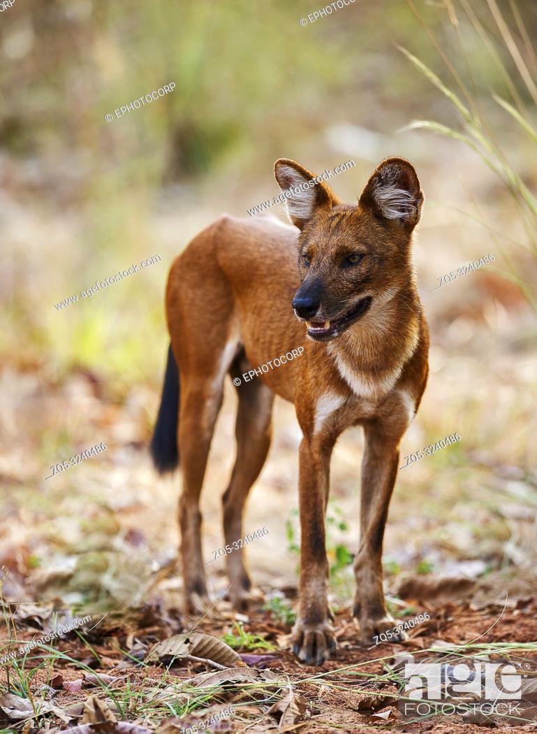 Stock Photo: Closview of wild dog, Tadoba, Maharashtra, India.