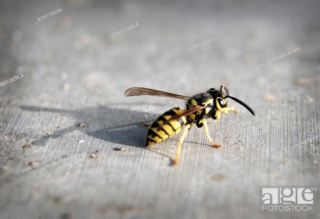Stock Photo: Wasp.