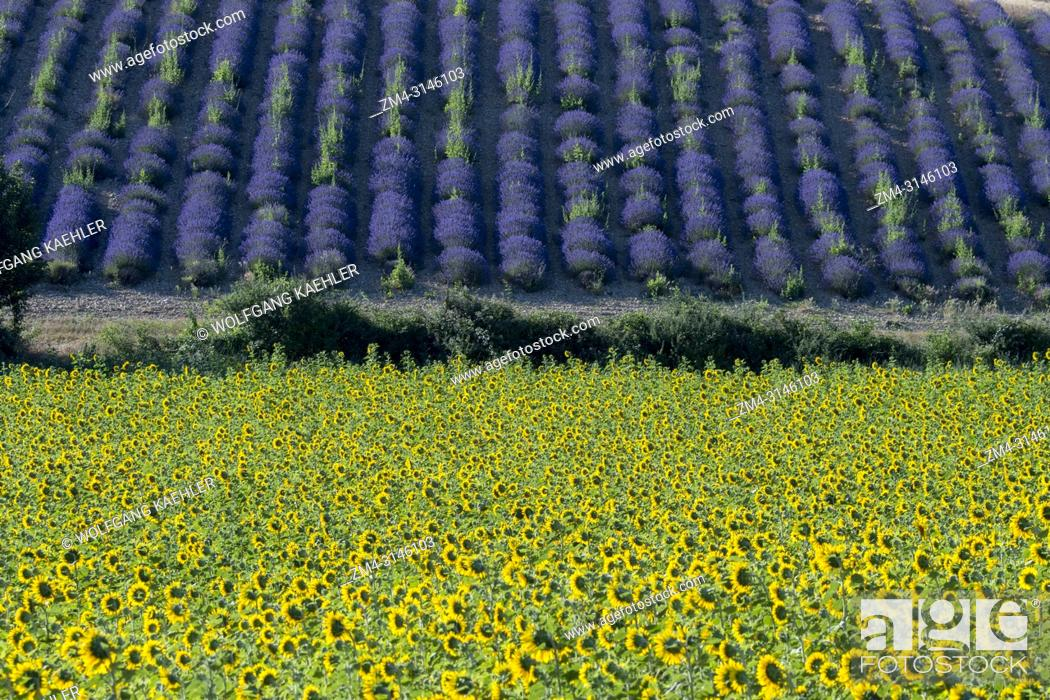 Stock Photo: A sunflower field with a lavender field in the background on the Valensole plateau near Digne-les-Bains and the Verdon gorges in the Alpes-de-Haute-Provence.
