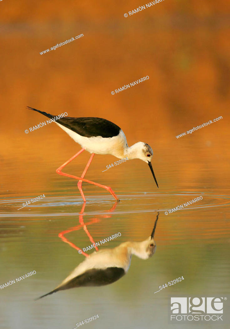 Stock Photo: Black-winged Stilt (Himantopus himantopus).