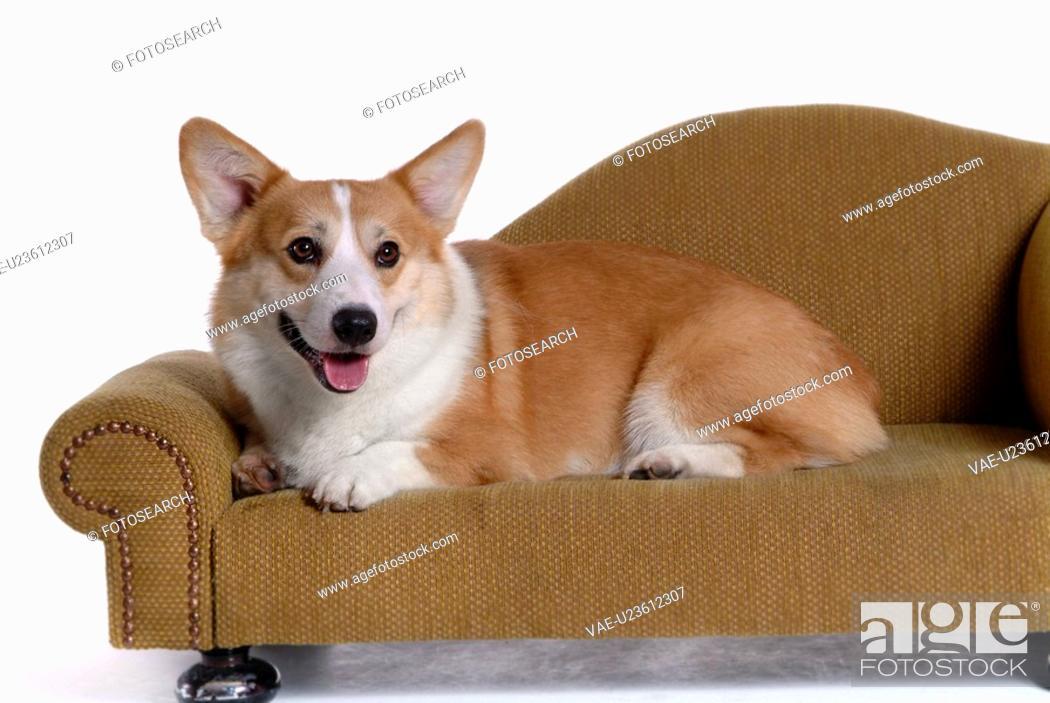 Stock Photo: domestic, loving, paw, canines, corgi.