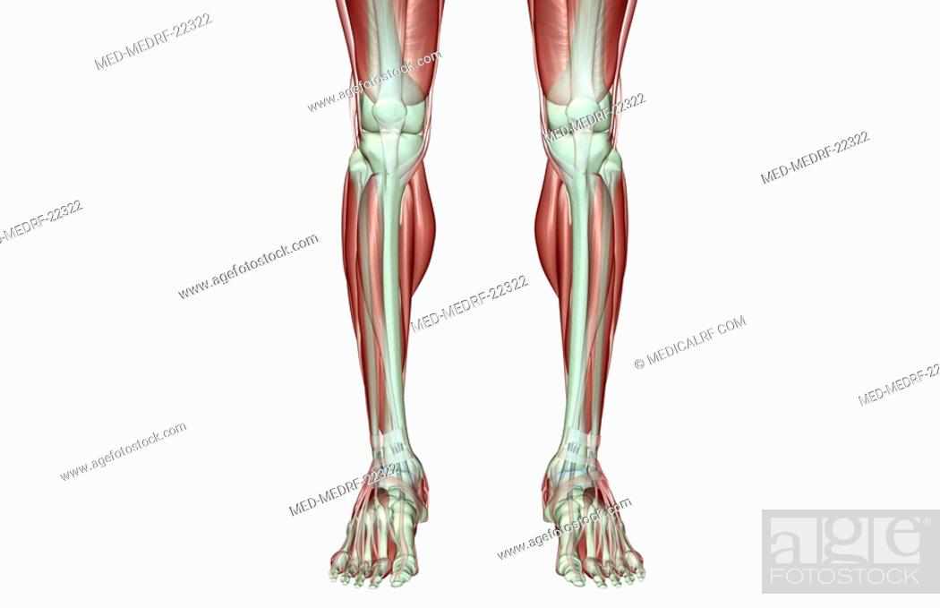 Stock Photo: The musculoskeleton of the legs.
