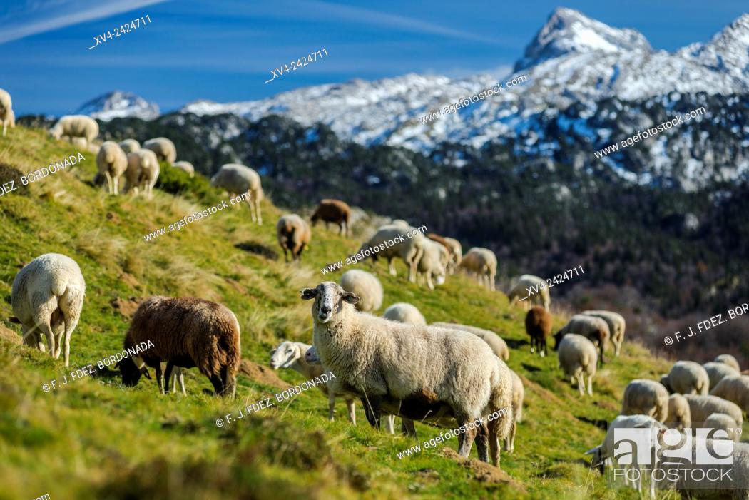 Stock Photo: Sheeps standed in Larra Belagua area, Roncal Valley, Navarre Pyrenees, Spain.