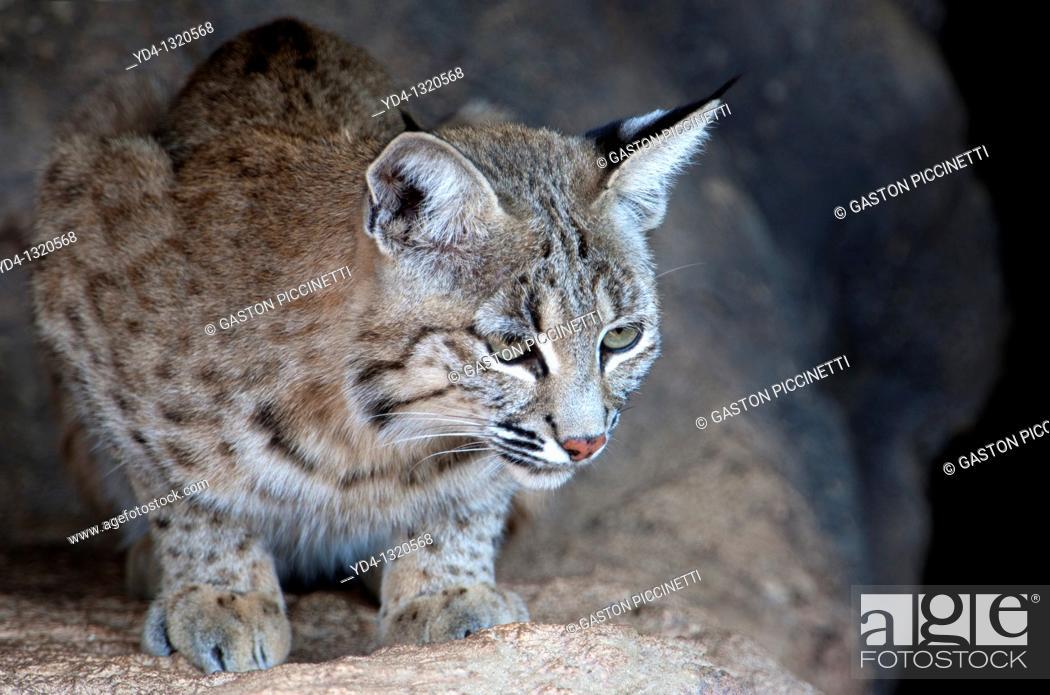 Stock Photo: Bobcat Lynx rufus, Arizona-Sonora Desert Museum, Tucson, Arizona, USA.