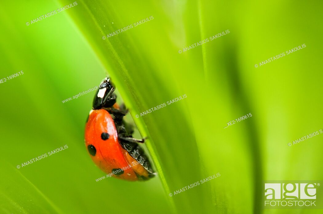 Stock Photo: Coccinella septempunctata, the seven-spot ladybird or, in North America, seven-spotted ladybug or 'C-7', Crete.