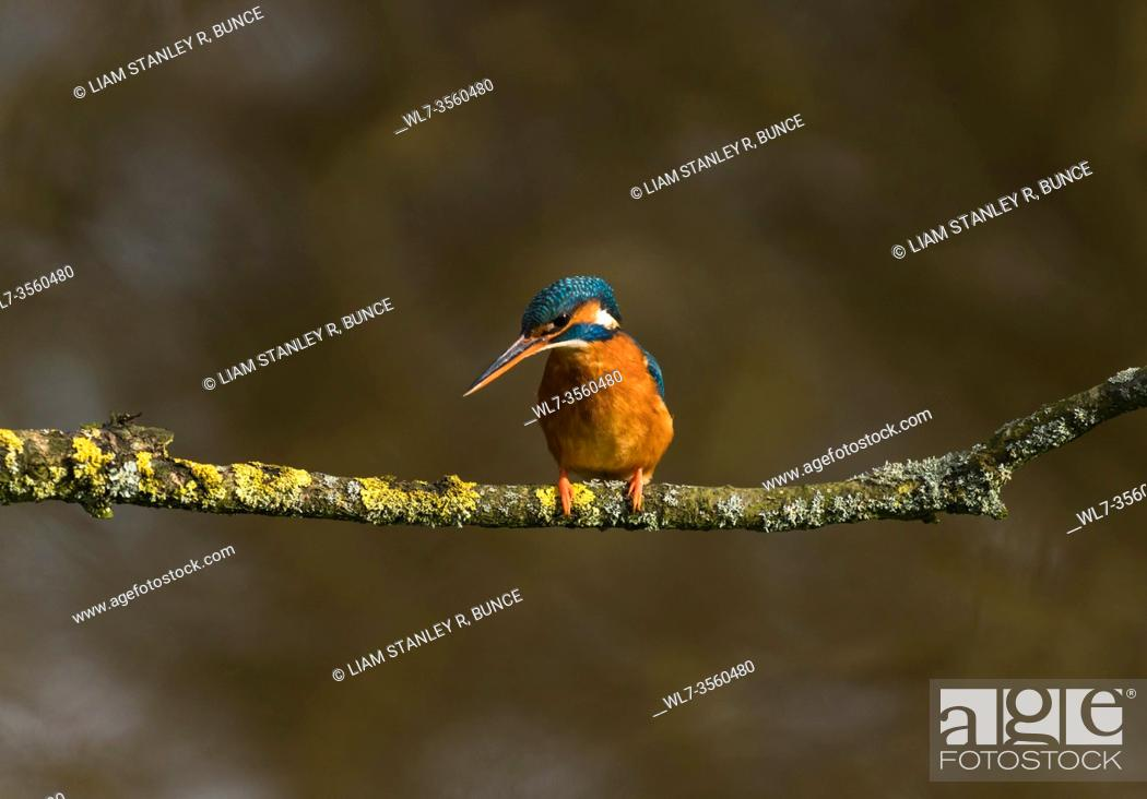 Stock Photo: Female Kingfisher (Alcedo atthis) perched on Lichen covered branch, Shropshire UK. March 2020.