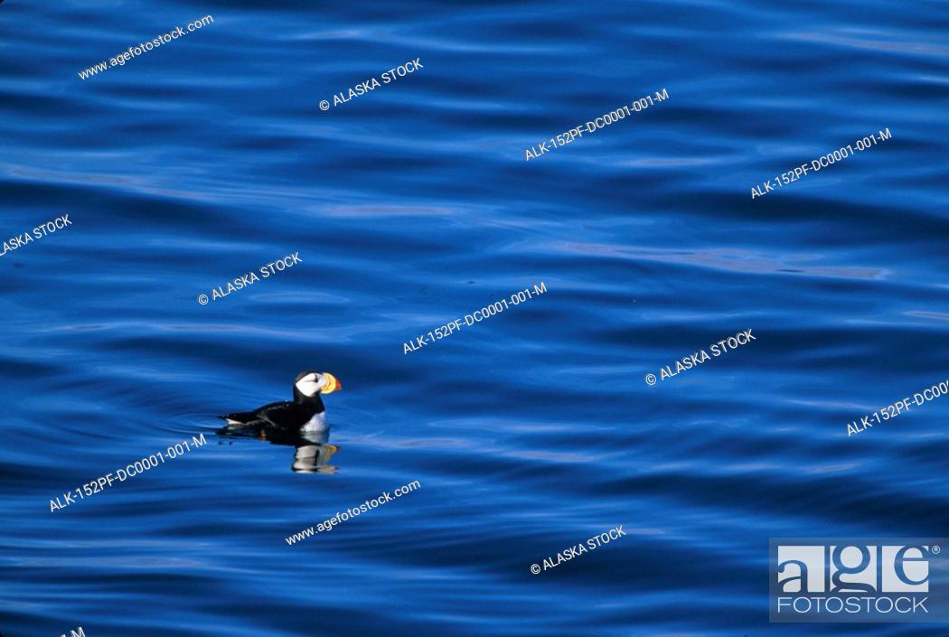 Stock Photo: Horned Puffin in water Round Island Southwest AK summer scenic.