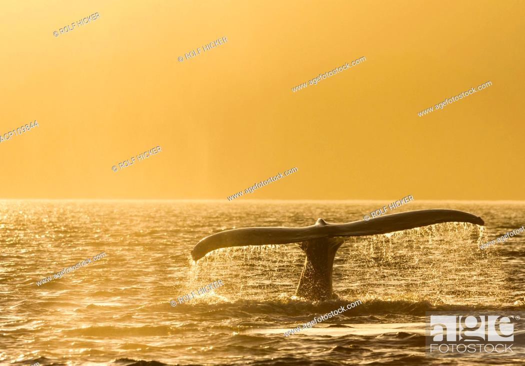 Stock Photo: Humpback Whale fluking during a foggy sunset, Queen Charlotte Sound, British Columbia, Canada.