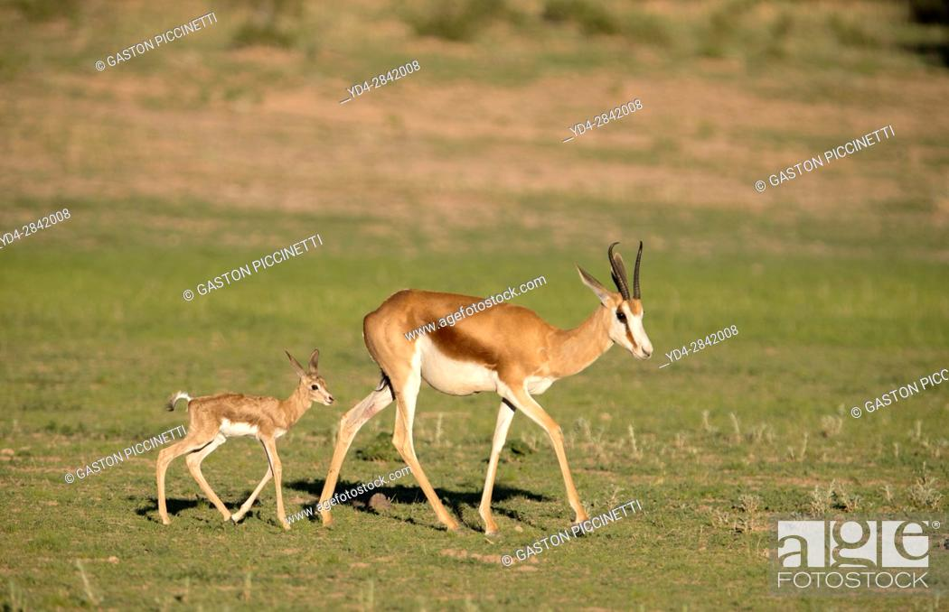 Imagen: Springbok (Antidorcas marsupialis) - Mother and lamb, Kgalagadi Transfrontier Park in rainy season, Kalhari Desert, South Africa/Botswana.