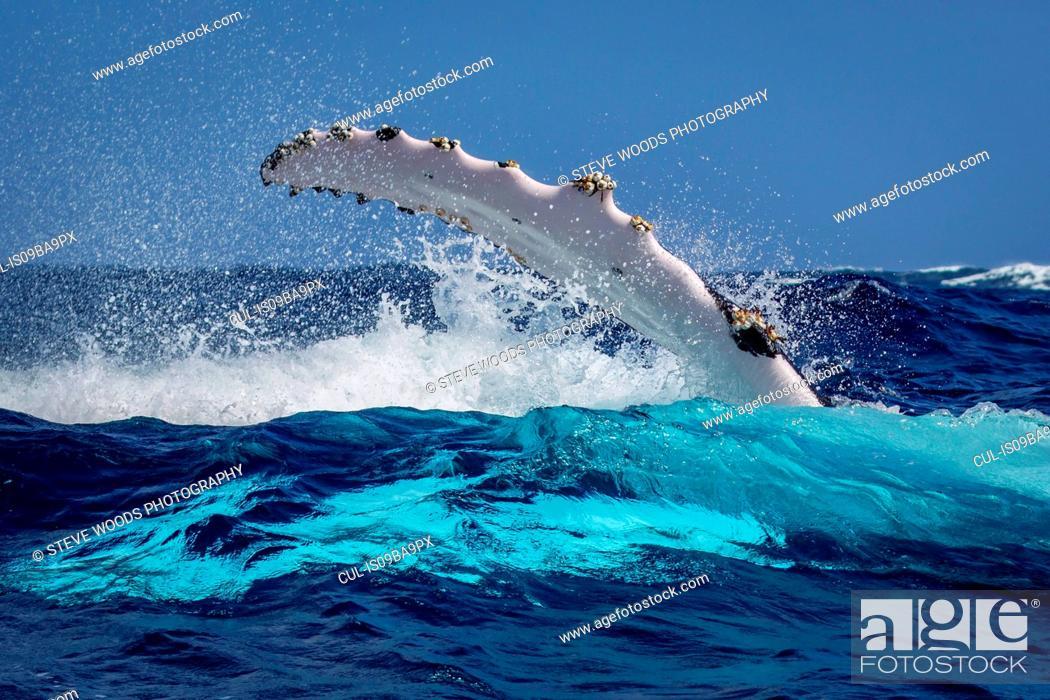 Stock Photo: Humpback whale (Megaptera novaeangliae) in the waters of Tonga.