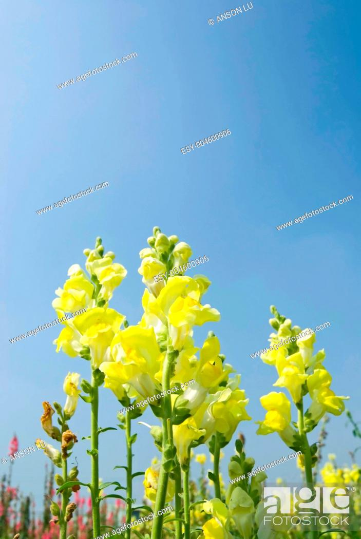 Stock Photo: Yellow Snapdragon flowers under blue sky.