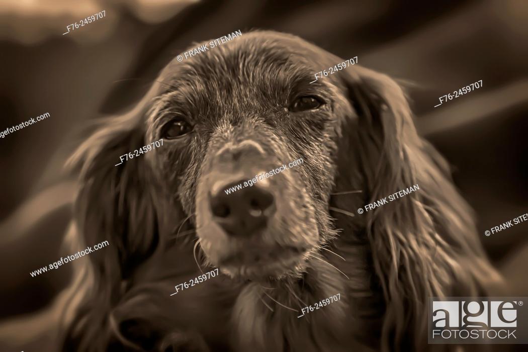 Stock Photo: Portrait of elder/senior daschsund.