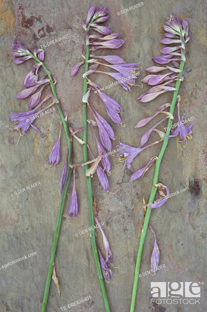 Three Dried Stems Of Lilac Coloured Flowers Of Plantain Lily Or