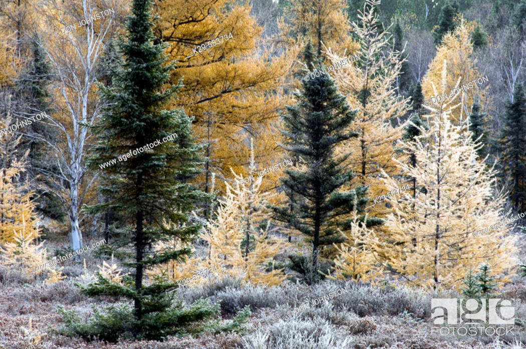 Stock Photo: Frosted tamaracks and spruces in beaver meadow. Ontario, Canada.