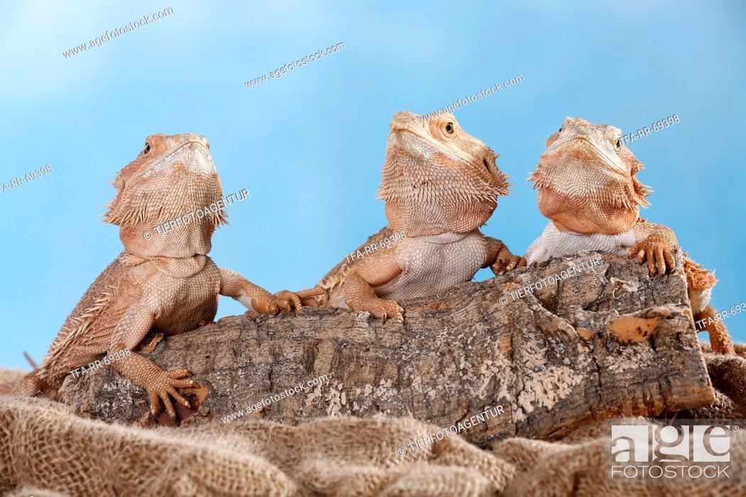 Stock Photo: central bearded dragon.