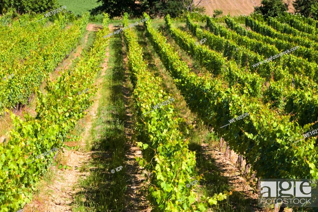 Stock Photo: Rows of ripening vines in South West France Europe.