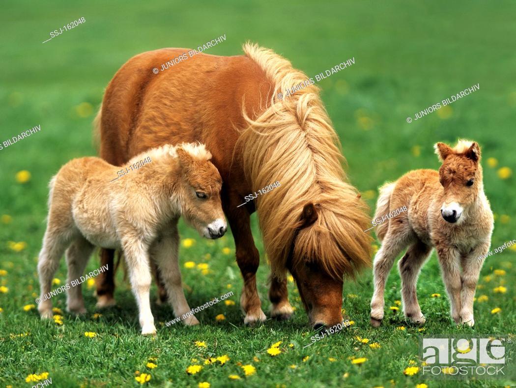 Stock Photo: Mini-Shetlandpony - mare and foal on meadow.