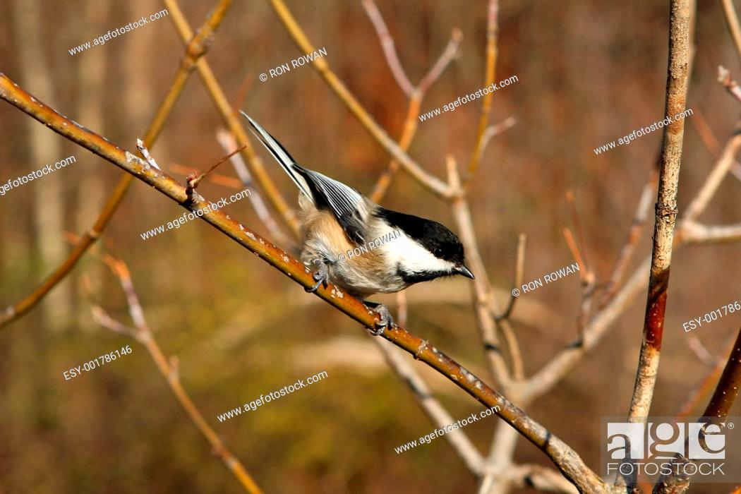 Photo de stock: Black-capped Chickadee Poecile atricapillus.