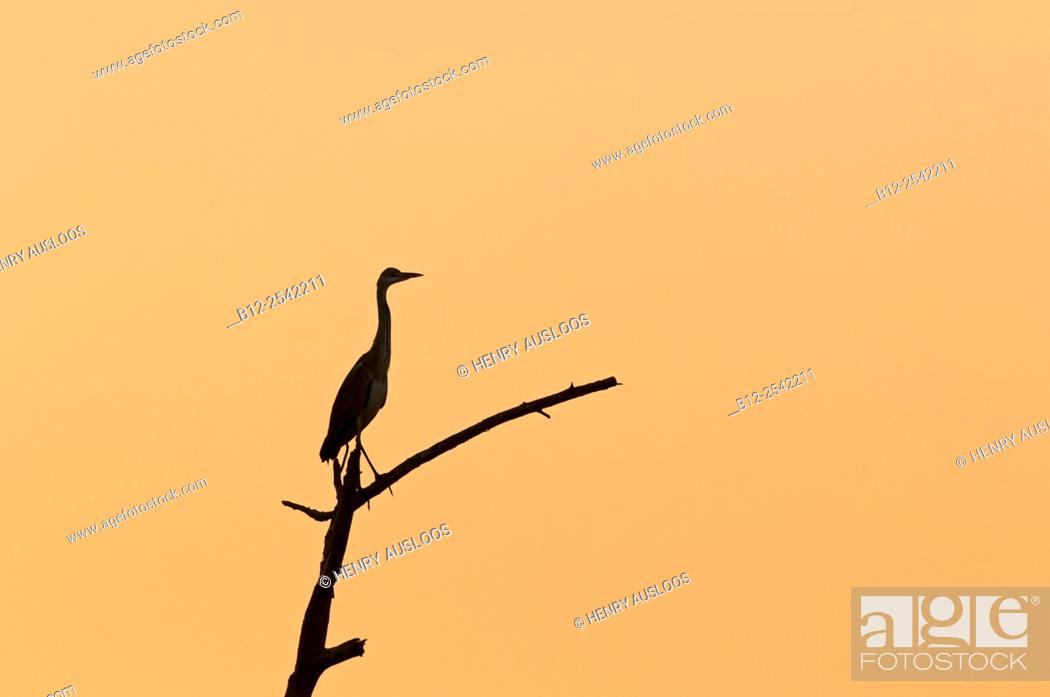 Stock Photo: Grey heron (Ardea cinerea) on sunset, Thailand.