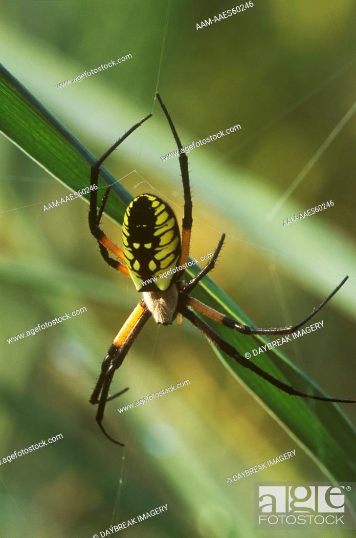 Black Yellow Argiope Argiope Aurantia Illinois Stock Photo Picture And Rights Managed Image Pic Aam Aaes60246 Agefotostock