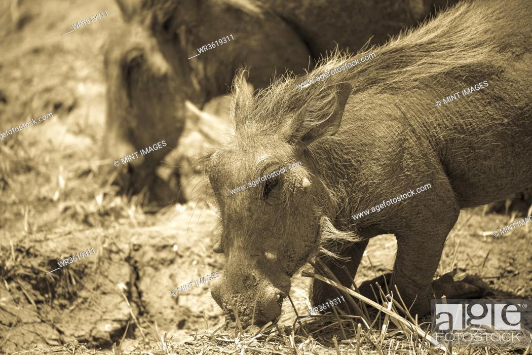 Stock Photo: warthog, Moremi Game Reserve, Botswana.