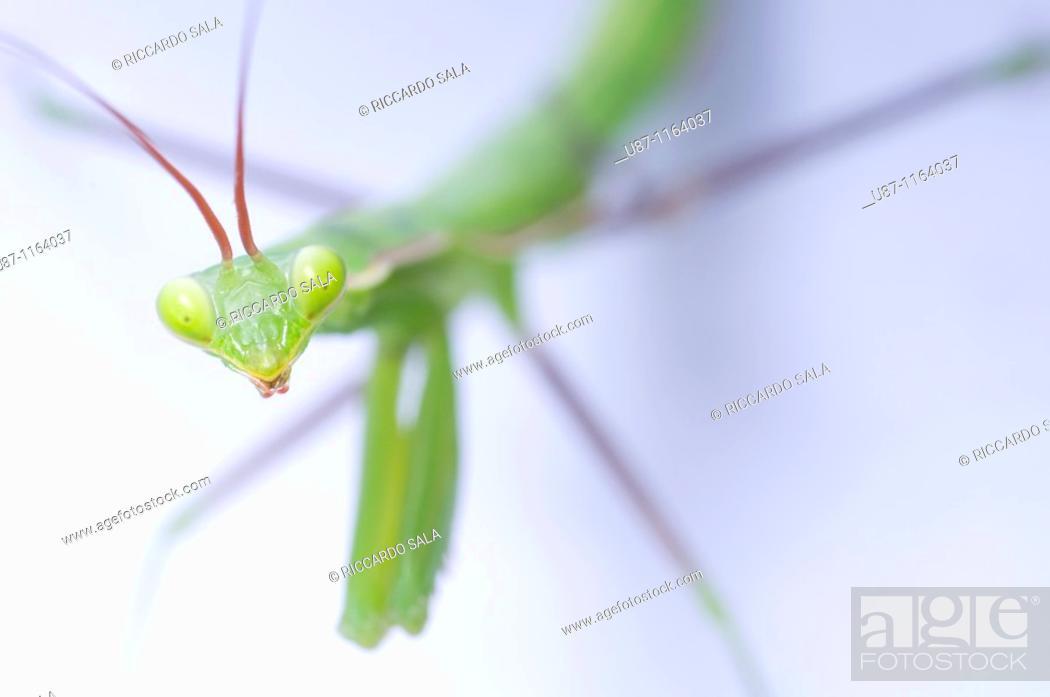 Stock Photo: Close-up Praying Mantis.