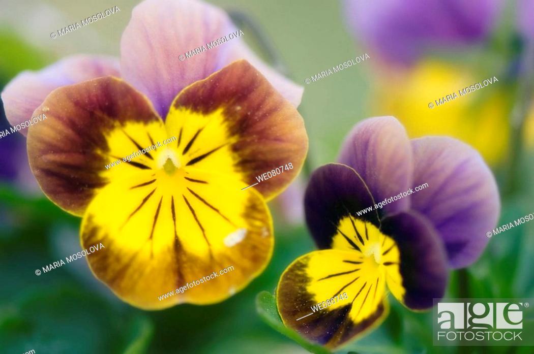Stock Photo: Two Pansy Flowers. Viola x wittrockiana. April 2008. Maryland, USA.