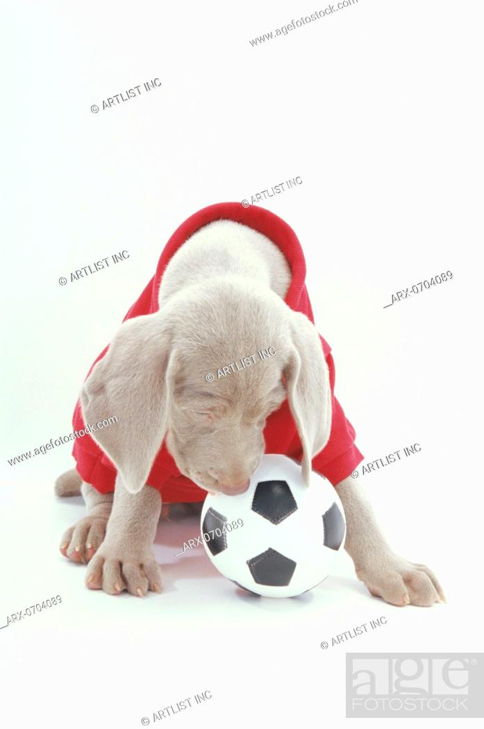 Stock Photo - A sitting puppy wearing a red shirt playing with a football accaca955