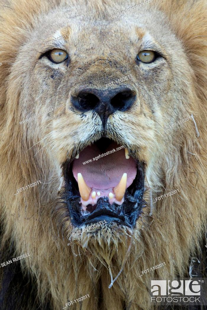 Stock Photo: Close-up, male lion panting, looking at camera.